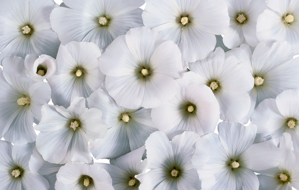 Picture flowers, background, white flowers, lavatera