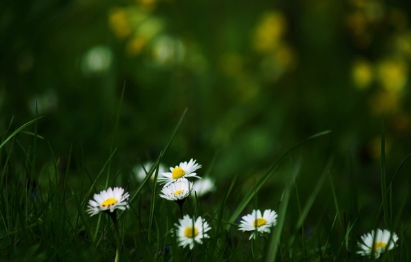 Picture summer, grass, flowers, nature, Wallpaper, glade, chamomile, flowering, wallpapers