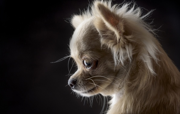 Picture portrait, dog, muzzle, black background, Chihuahua