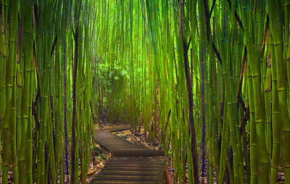 Picture thickets, bamboo, path