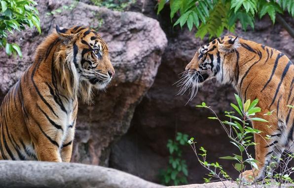 Picture look, cats, tiger, pair, profile, Sumatran