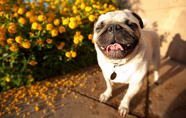 Picture face, dog, pug, handsome