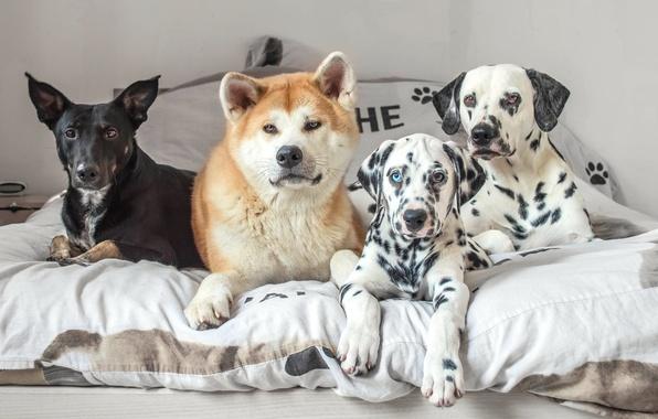 Picture dogs, bed, friends, mongrel, Quartet, Akita inu, dalmatinci