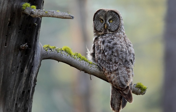 Picture tree, owl, bird, moss, bitches, Great grey owl