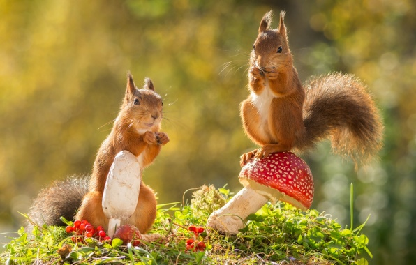 Picture autumn, animals, nature, berries, mushrooms, bokeh, proteins, rodents