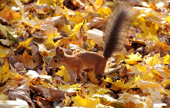 Picture autumn, leaves, protein, red, fluffy tail