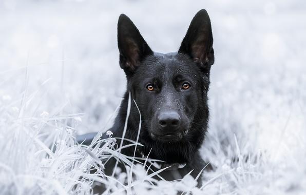 Picture grass, look, face, dog, shepherd, German shepherd