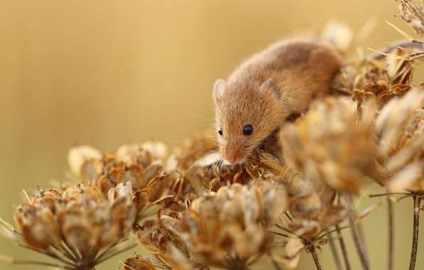 Picture flowers, plant, mouse, dry, red, vole