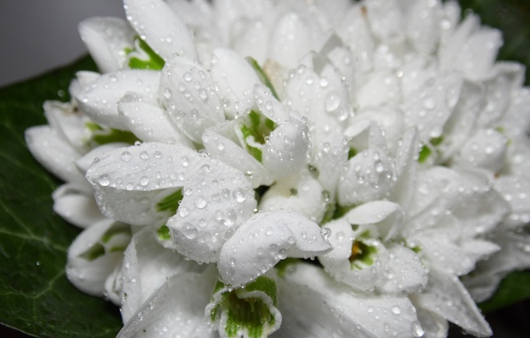 Picture drops, flowers, Rosa, spring, snowdrops, white