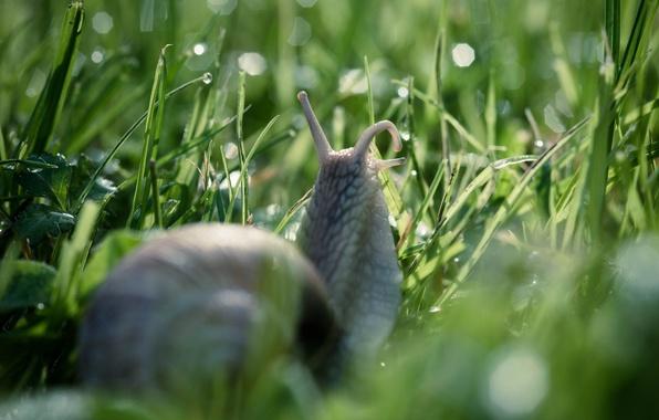Picture grass, drops, macro, nature, Rosa, snail, bokeh