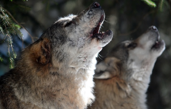 Picture nature, background, wolves