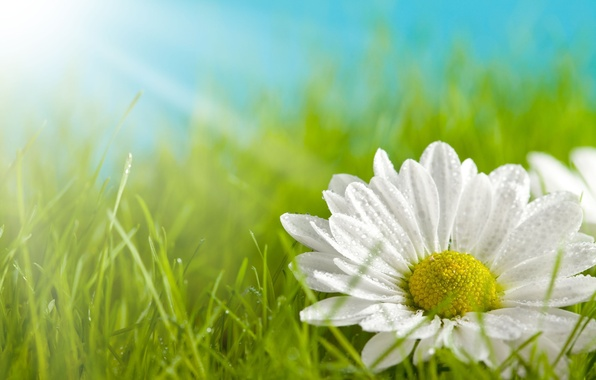 Picture greens, white, grass, flowers, yellow, background, widescreen, Wallpaper, petals, Daisy, meadow, wallpaper, widescreen, background, full …
