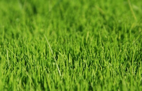 Picture grass, green, grass