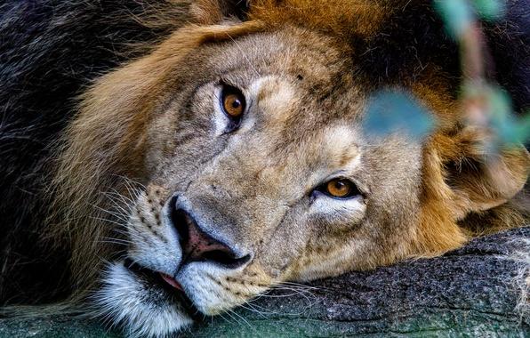 Picture cat, look, predator, Leo