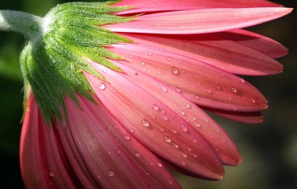 Picture flower, drops, macro, Rosa, pink, petals