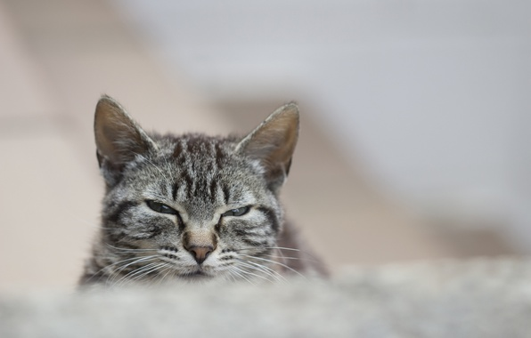 Picture cat, cat, look, grey, portrait, striped