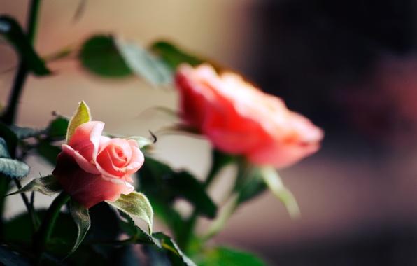 Picture flowers, stems, roses, petals, flowering, flower, Rose
