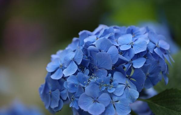 Picture macro, flowers, beauty, hydrangea