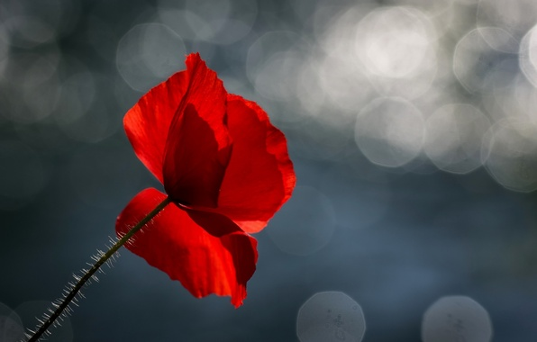 Picture flower, background, Mac