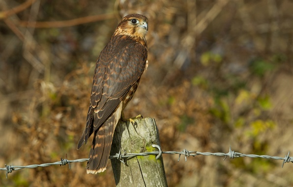 Picture look, bird, wire, profile, wooden, column, Merlin