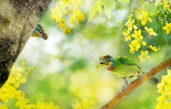 Picture birds, branch, flowers, bokeh, Silver brotastic, Cassia fistula, Asian woodpeckers