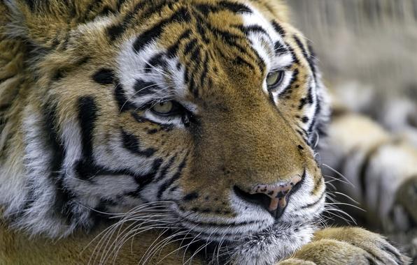 Picture tiger, portrait, predator