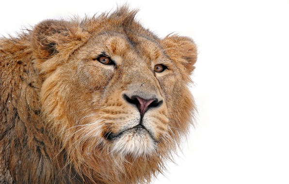 Picture mustache, face, predator, Leo, mane, looks, on a white background, lion, young, panthera leo