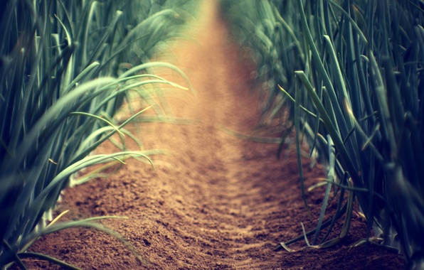 Picture sand, greens, grass, earth, plant, plants, focus, blur, stem, alley, path, stems, the garden, alley, …