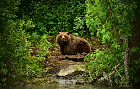 Picture greens, forest, branches, foliage, bear, river, the bushes, brown
