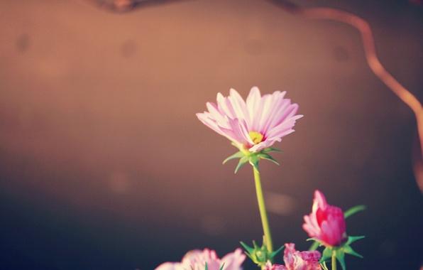 Picture pink, plant, petals