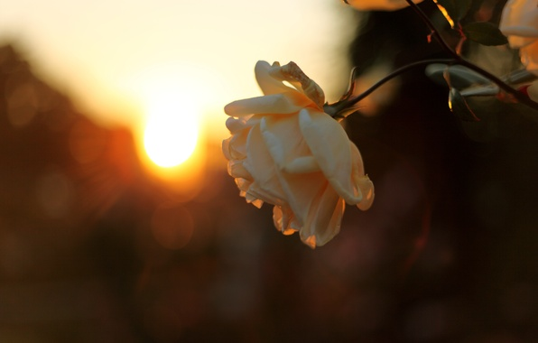 Picture the sky, the sun, rays, light, sunset, nature, rose, branch, the evening, Bud