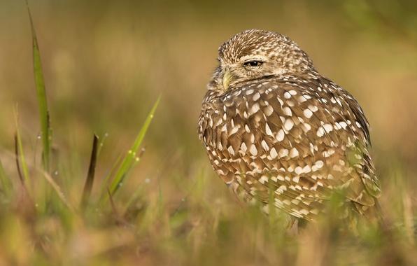 Picture grass, owl, bird, bokeh, Burrowing owl