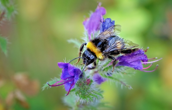 Picture flower, nature, bee, plant, petals, insect, bumblebee