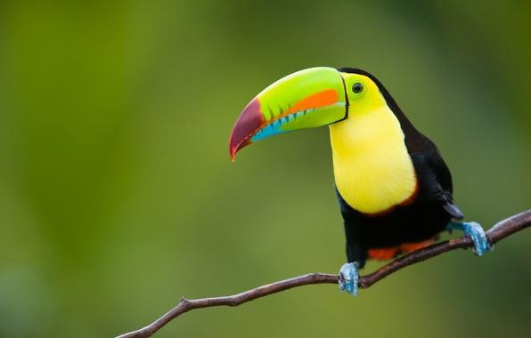 Picture nature, tropics, background, bird, jungle, Toucan, animals, nature, bokeh, East, province, Indonesia, Java, travel, wallpaper., …