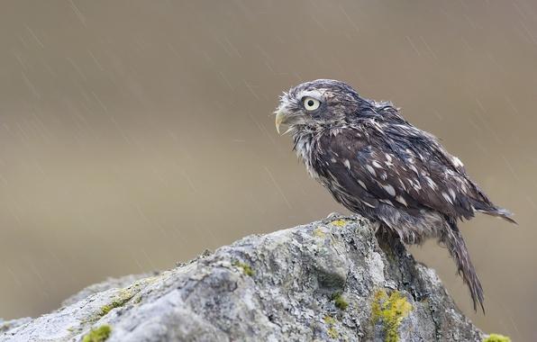 Picture rock, rain, owl, bird, stone, moss, wet, chick