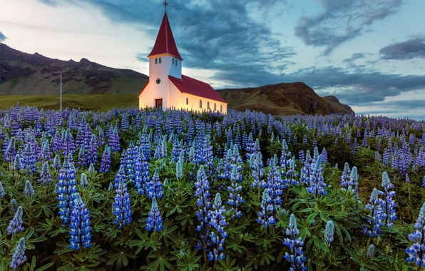 Picture the sky, clouds, flowers, glade, the evening, backlight, Iceland, Church, lupins