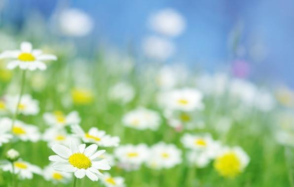 Picture field, macro, rays, light, flowers, chamomile, garden, Daisy