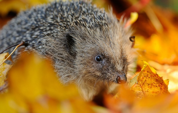Picture autumn, leaves, needles, hedgehog
