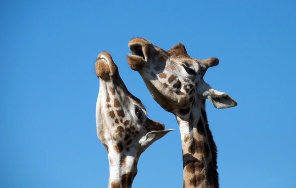 Picture giraffes, Duo, song