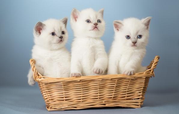 Picture basket, kittens, kids, trio, Trinity