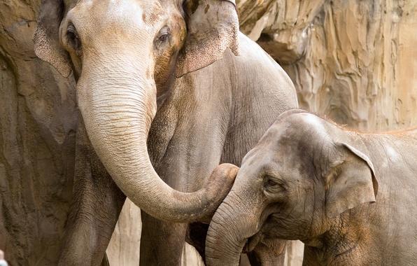 Picture love, joy, the proximity, devotion, care, cub, Elephants, mother, communication, reliability, security