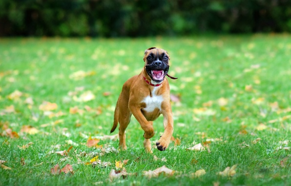Picture BACKGROUND, FOREST, GRASS, MOUTH, FACE, The GAME, RUNNING, GREEN, DOG, JOY)