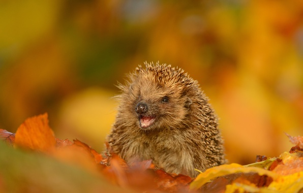 Picture autumn, leaves, smile, barb, muzzle, hedgehog
