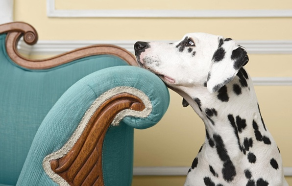 Picture look, dog, chair, dog, Dalmatians