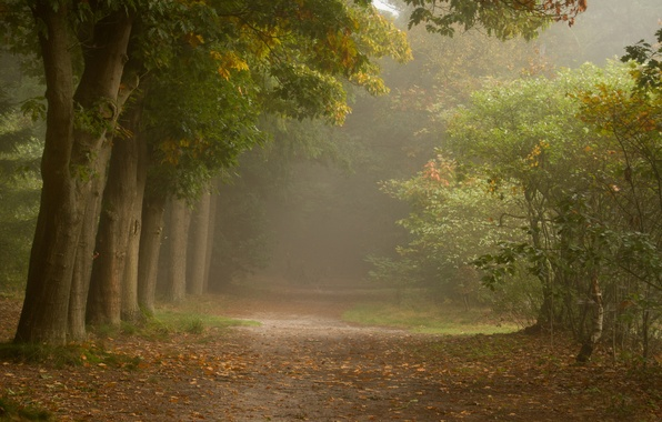 Picture forest, trees, fog, path, shrub
