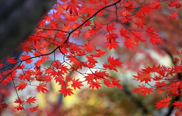 Picture autumn, leaves, tree, branch, maple, the crimson