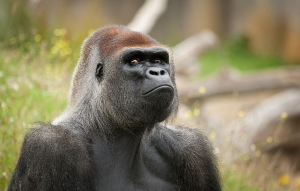 Picture look, face, monkey, gorilla, the primacy of