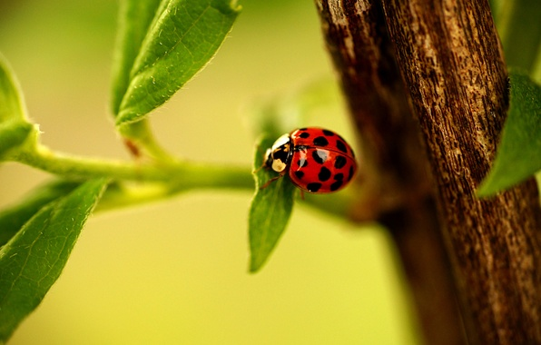 Picture leaves, ladybug, branch, Ladybug, leaves, ladybug, branch, ladybird