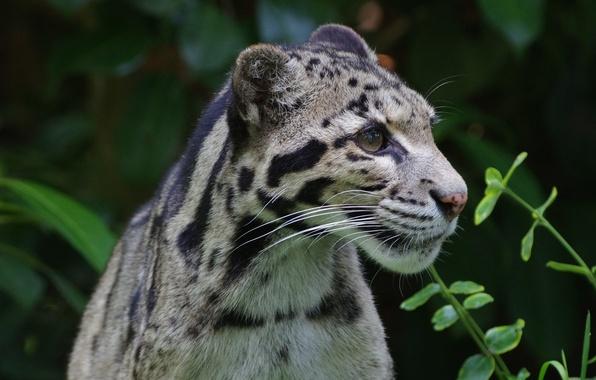 Picture look, nature, predator, color, wild cat, clouded leopard