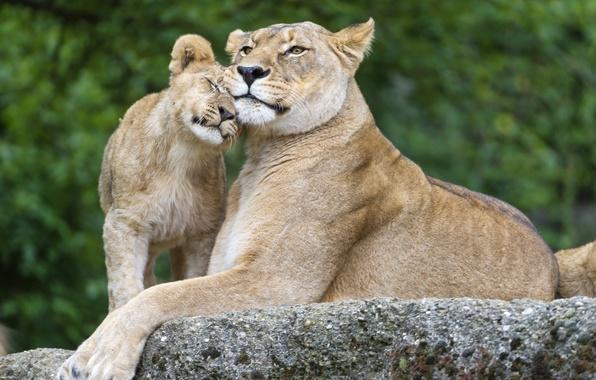 Picture cats, stone, family, cub, lions, lioness, lion, ©Tambako The Jaguar
